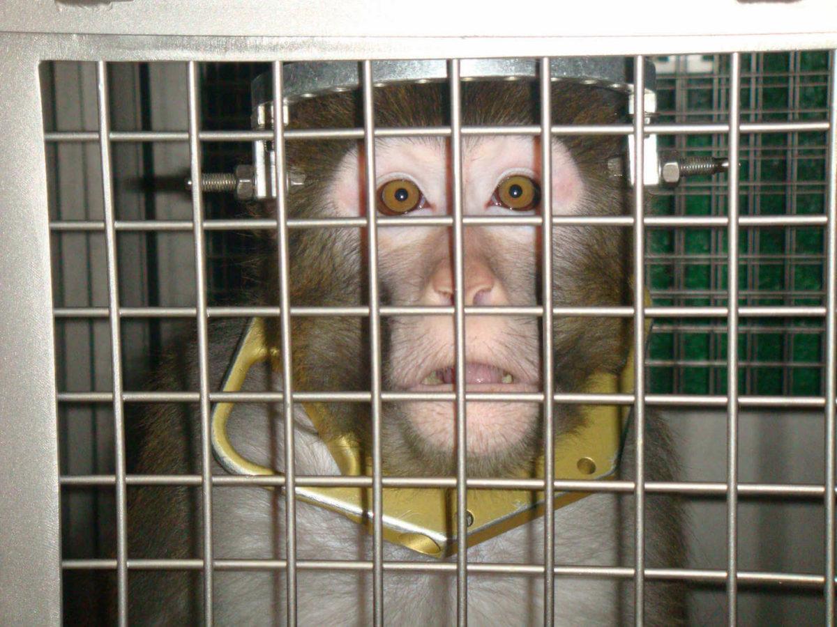 拘束されて実験を受ける猿